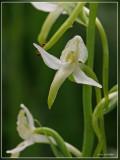Genus Platanthera
