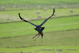 Wedge Tailed Eagle escaping with prey