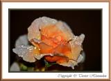 Betty's Rose