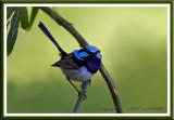 blue wren.