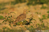 Stone curlew 2010