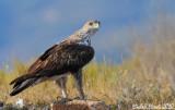 Bonelli's eagles