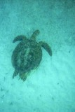 021-sea turtle in baie des chevaliers.jpg
