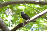 095-black bird of cousin.jpg