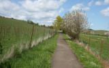 Vineyard Path