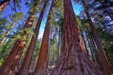 Mariposa Grove Giant Sequoia's