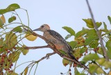 Red Vented Woodpecker