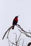 Sacrlet Chested Sunbird