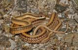 Misc. Snakes