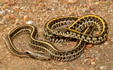 Garter and Watersnakes