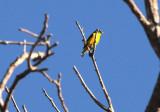 Yellow-throated Euphonia