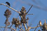 Yellow-throated Euphonia & Varied Bunting