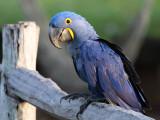 Brazil Pantanal Birding (Pousada Aguape) 2010
