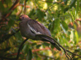 White-winged Dove; McKenzie, TN