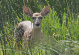 Deer2962b.jpg