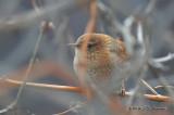 WinterWren4109b.jpg
