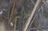 Orange-crowned_Warbler_0251.jpg