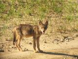 Coyote5771b.jpg