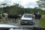 Cows on Road, La Fortuna