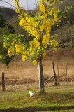 Cassia Fistula Golden Shower Tree with Cock