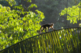 6AM Backlit White-Faced Capuchin Monkey Traversing Palm Frond