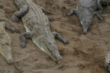 Three Crocodiles