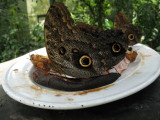 Giant Moths or Butterflys Eating a Banana