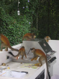 Titi Monkeys Checking out the Pancake Mix