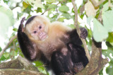 Capuchin White Faced Monkey Philosophizing