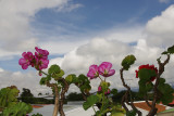 Geraniums and Clouds