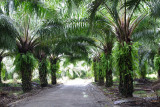 Palm Oil Farm