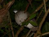Slaty-breasted Tinamou - Crypturellus boucardi