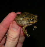 Marine Toad - Chaunus marinus