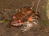 Smoky Jungle Frog - Leptodactylus savagei