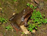 Litter Toad - Rhaebo haematiticus