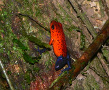 Strawberry Poison Frog - Oophaga pumilio