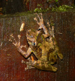 Boulenger's Snouted Treefrog - Scinax boulengeri