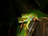 Red-eyed Leaf Frogs - Agalychnis callidryas