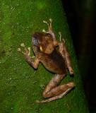 Clay-colored Rainfrog - Pristimantis cerasinus
