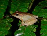 Leptodactylid Frog - Craugastor sp.