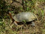 Black River Turtle - Rhinoclemmys funerea