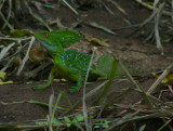 Green Basilisk - Basiliscus plumifrons