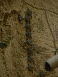Long-nosed Bats - Rhynchonycteris naso