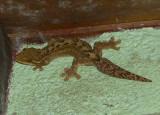 Turnip-tailed Gecko - Thecadactylus rapicauda