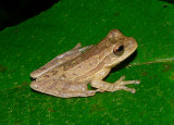 Tawny Treefrog - Smilisca puma