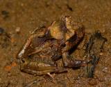 Broad-headed Rainfrog - Craugastor megacephalus