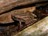 Bransford's Litterfrog - Craugastor bransfordii
