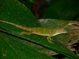 Green Tree Anole - Norops biporcatus