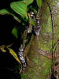 Clouded Slug-eater - Sibon nebulatus