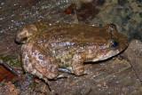 Fringe-toed Foamfrog - Leptodactylus melanonotus